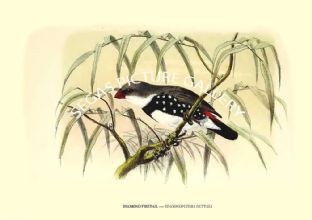 DIAMOND FIRETAIL ---- STAGONOPLEURA GUTTATA
